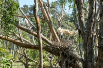 Juvenile ibises in their nest