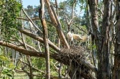 Juvenile ibises in their nest